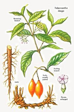 Iboga plant - Buy Iboga .com